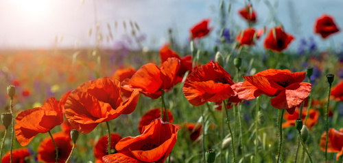 Poppy Flowers In The Field Close Up Glowing In Sunlight.  On The